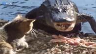 Mèo tát cá sấu trên bờ sông