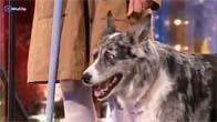 Chú chó đi thi Britain's Got Talent quá đỉnh