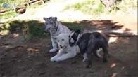 Con chó này dám chơi cả sư tử lẫn hổ