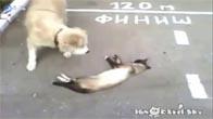 Mèo giả chết lừa chó