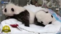 Cận cảnh 100 ngày đầu đời của 2 chú gấu trúc