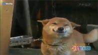 Chú chó biết cười khi chủ về