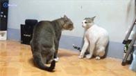 Hai chú mèo solo vịnh xuân quyền