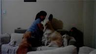 Hai chú chó ngăn cản không cho mẹ đánh đòn em bé