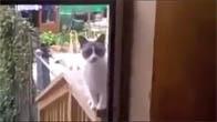Mèo giận dữ vì chủ không mở cửa cho vào