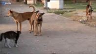 Chú mèo và bầy chó