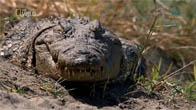 [Thuyết Minh] Cá sấu sông Katuma
