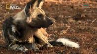 [Thuyết Minh] Loài chó hoang châu Phi