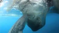 Cá mập voi hút trộm cá của ngư dân