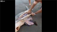 Cứu 3 chú cá mập con trong bụng mẹ đã chết bên bờ biển