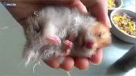 Bé Hamster-bear giả chết để được ăn hoa