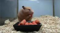 Chú chuột ăn hết 10 củ cà rốt trong vài giây @@