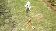 Trận chiến kinh hoàng giữa chó Husky cụt đuôi và rắn hổ mang chúa