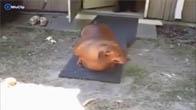 Chó hay lợn đây nhỉ cả nhà?
