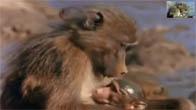 Khỉ mẹ tấn công cá sấu giành lại con mình
