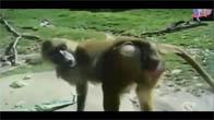 Những con khỉ mất nết nhất thế giới