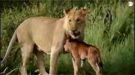 Sư tử bảo vệ nai con trước nanh vuốt đồng loại