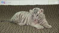 Hổ trắng con quý hiếm lần đầu tiên sinh ra ở Việt Nam