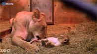 Clip sư tử mẹ và những đứa con
