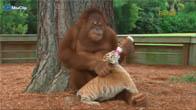 Khỉ chăm sóc, nuôi nắng hổ con