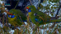 [Thuyết Minh] Australia - Vùng đất của loài vẹt