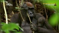 [Vietsub] Mystery Gorilla - Loài khỉ đột bí ẩn
