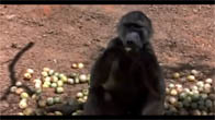 Chết cười với động vật bị xỉn do ăn trái Marula