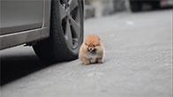 Con chó chân ngắn mập ú đu theo bước chân người