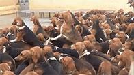 Đàn chó săn 200 con và bữa ăn tươi hàng ngày