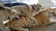 Hổ và chó chơi đùa cùng nhau