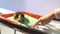 Thú vị với chú vịt được nuôi như thú cưng!