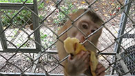 Clip cho khỉ con ăn chuối