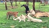 Hổ cứu nhân viên vườn thú khỏi bị báo tấn công