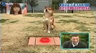Troll chó kiểu Nhật