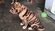 Sốc nặng với chú chó có bộ lông hổ con của Chú Hai Cần Đước