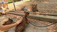 Khi hổ con gặp hổ trưởng thành