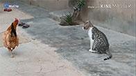 Clip mèo và gà đánh nhau