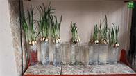 Phương pháp trồng tỏi cực kỳ đơn giản bằng chai nhựa